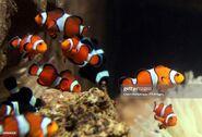 Shoal of Ocellaris Clownfish
