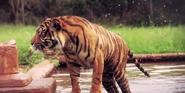 WMSP Tiger