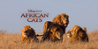 African Cats Male Lions