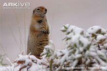 Arctic-ground-squirrel-in-snow.jpg