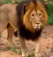 BTJG Transvaal Lion