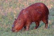 Capybara (V2)
