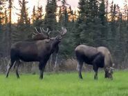 Eastern Moose Bull and Cow