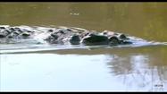 Elephant Tales Crocodile