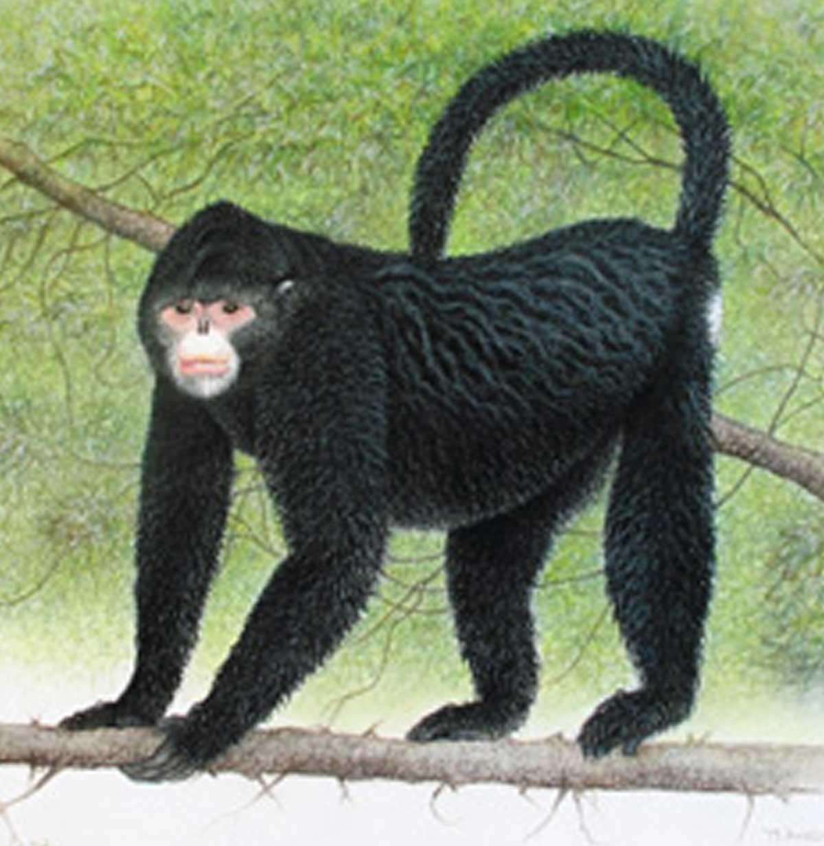 Myanmar Snub-Nosed Monkey