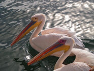 Male and Female Great White Pelicans
