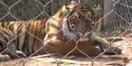 Oklahoma City Zoo Tiger