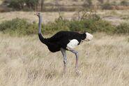Ostrich, Somali