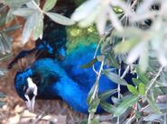 Peafowl in arizona's wildlife world zoo