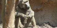 Seneca Park Zoo Baboon