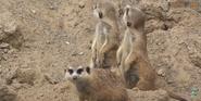 Tampa Lowry Park Zoo Meerkats