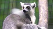 Utica Zoo Lemur