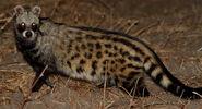 African-Civet-6