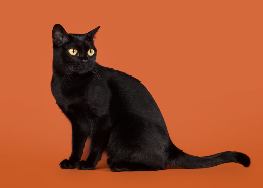 Bombay Cat