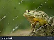 Carnivorous Bullfrog