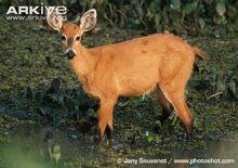 Female-marsh-deer.jpg