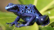 Frog, Blue Poison Dart