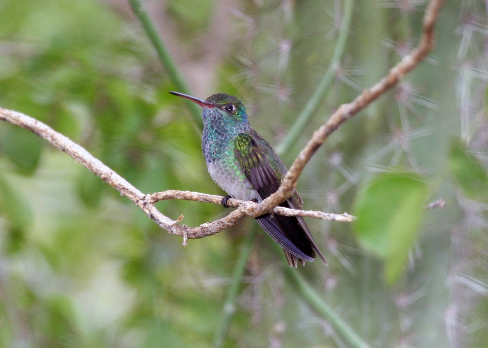 Honduran Emerald