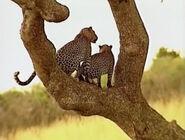 HugoSafari - Leopard03