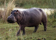 Nile hippopotamus (Hippopotanus amphibius amphibius)