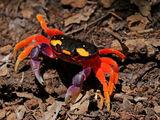 Pacific Land Crab