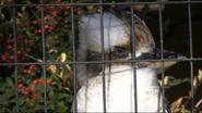 San Antonio Zoo Kookaburra