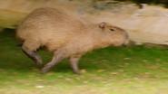 The Zoo Capybara