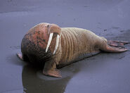 800px-Walrus