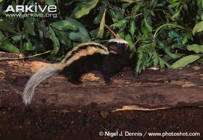 African Striped Weasel