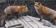 Alaska Zoo Foxes
