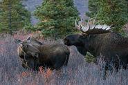 Alaskan Moose Bull and Cow (V2)