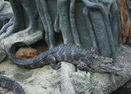 Alligator, Chinese