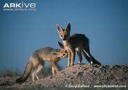 Cape-fox-juveniles