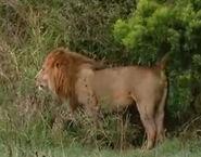 HugoSafari - Lion02