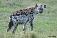 Hyena, Eastern Spotted