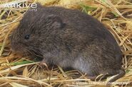 Meadow-vole