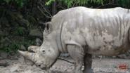 Memphis Zoo Rhino (V2)