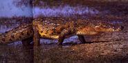 Nile Crocodile, Eastern