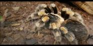 San Diego Zoo Tarantula
