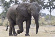 South African Bush Elephant (V2)