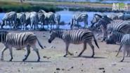 UTAUC Zebras 3
