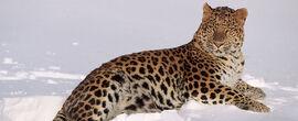 Amur leopard 1 19700.jpg