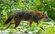 Canis aureus Kaeng Krachan national park