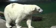Cincinnati Zoo Polar Bear