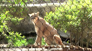 Fort Worth Zoo Cougar