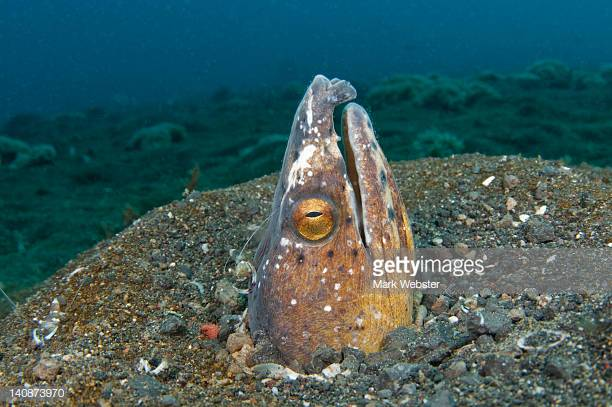 Black-Pitted Snake Eel