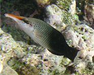 Gomphosus varius female