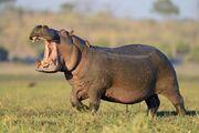 Hippopotamus, Nile.jpg