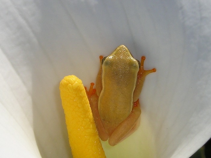 Arum Frog
