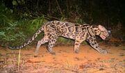Leopard, Sunda Clouded.jpg